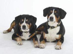 Two Entlebucher Mountain Dogs Lying Down by Petra Wegner