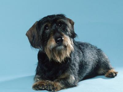 Wire-Haired Dachshund by Petra Wegner