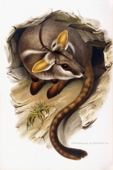 Petrogale Xanthopus--Giclee Print