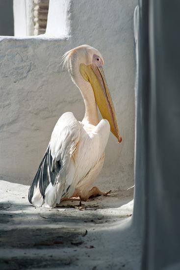 Petros the Pelican, Chora, Mykonos, Greece-David Noyes-Photographic Print