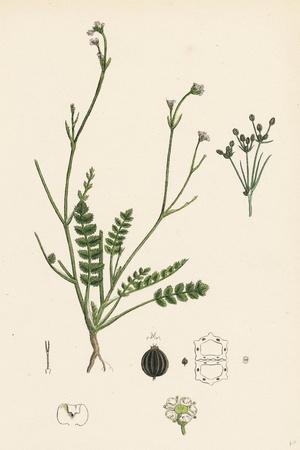 Petroselinum Segetum Corn Parsley--Giclee Print