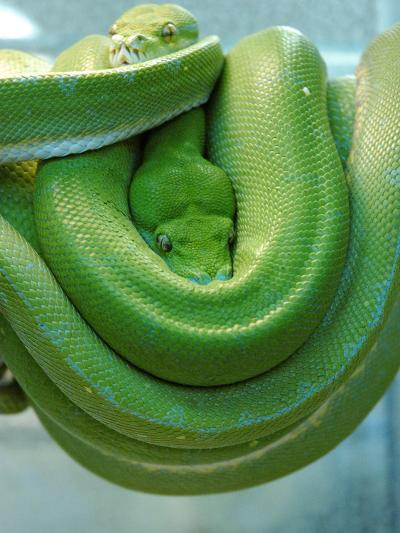 Pets Special Snakes-Mark Gilliland-Photographic Print
