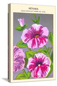 Petunia Nain Compact Rose Du Ciel