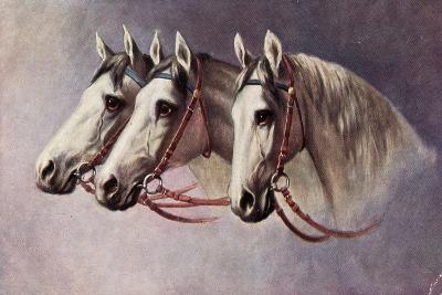 Pferd, Drei Schimmel Aus Dem Seitenprofil Mit Geschirr--Giclee Print