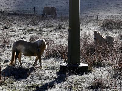 Pferde Im Winterfell Grasen Auf Einer Raureifueberzogenen Weide Am Titisee-Winfried Rothermel-Photographic Print