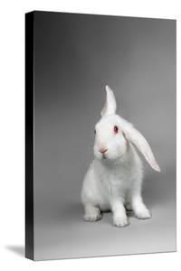 Fluffy White Rabbit Over Grey Background by PH.OK