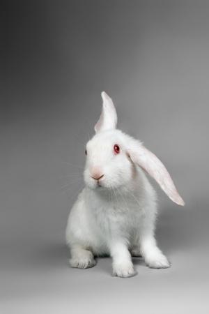 Fluffy White Rabbit Over Grey Background