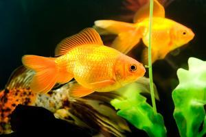 Tropical Aquarium Fish Macro Shot by PH.OK