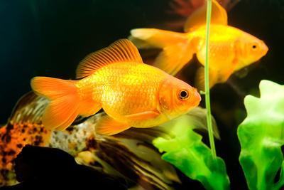 Tropical Aquarium Fish Macro Shot