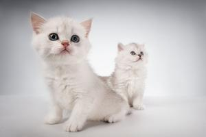 White Fluffy Classic Persian Cats Isolated On White by PH.OK