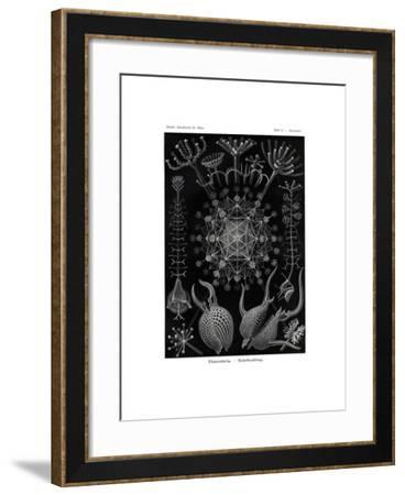 Phaeodaria, 1899-1904--Framed Giclee Print