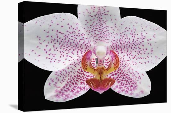 Phal 12-Danny Burk-Stretched Canvas Print