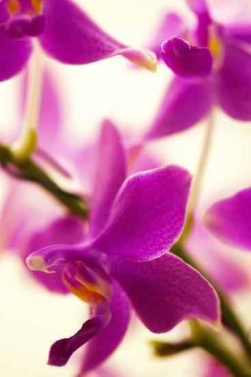 Phalaenopsis Flying Fire 'Sweetheart'-Maria Mosolova-Photographic Print