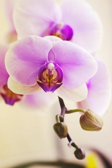 Phalaenopsis Hinamatsuri 'Blushing Bride'-Maria Mosolova-Photographic Print
