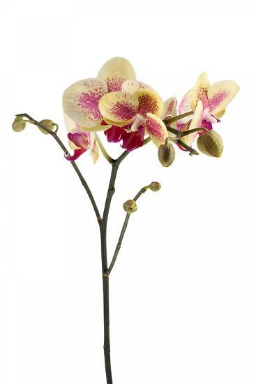 Phalaenopsis Ibrid1-Fabio Petroni-Photographic Print