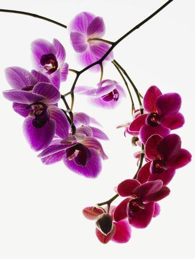 Phalaenopsis orchids--Photographic Print