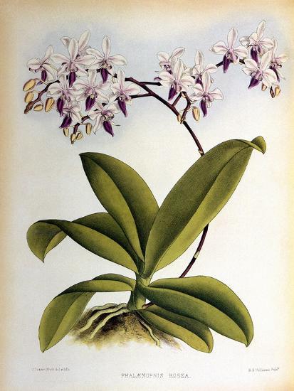 Phalaenopsis Rosea-John Nugent Fitch-Giclee Print