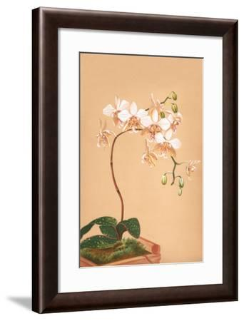 Phalenopsis Stuartiana; Philippine Orchid-H.g. Moon-Framed Art Print