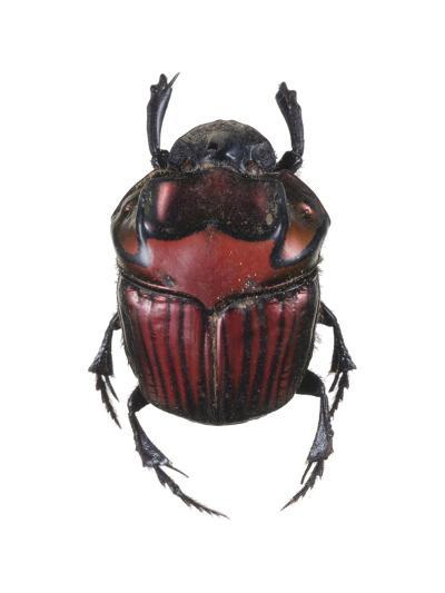 Phanaeus Dung Beetle-Lawrence Lawry-Photographic Print