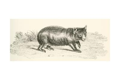 Phascolonus of the Wombat Family. Australian Marsupial--Giclee Print