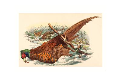 Phasianus Colchicus (Ring-Necked Pheasant), Colored Lithograph- Gould & Hart-Giclee Print
