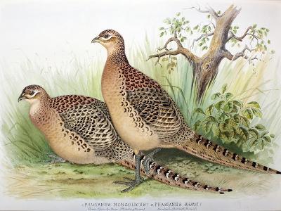 Phasianus Mongolicus and Phasianus Shawi, 1906-7-Henry Jones-Giclee Print