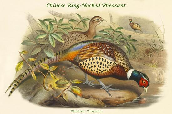Phasianus Torquatus - Chinese Ring-Necked Pheasant-John Gould-Art Print