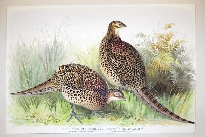 Phasianus Ussuriensis and Phasianus Delocllatus, 1906-7-Henry Jones-Giclee Print