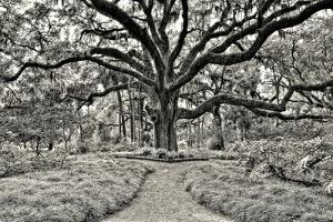 Florida Tree by PHBurchett