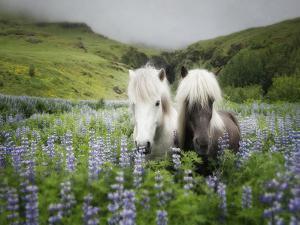 Icelandic Horses III by PHBurchett