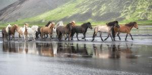 Icelandic Horses XIV by PHBurchett