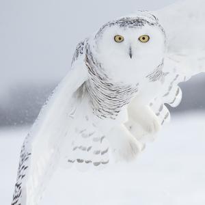 Owl in Flight I by PHBurchett