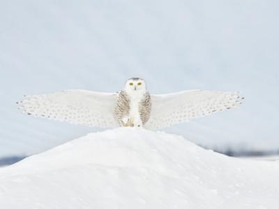 Owl in Flight III by PHBurchett