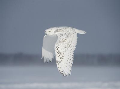 Owl in Flight IV by PHBurchett