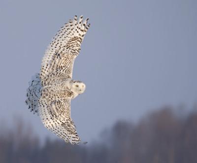 Owl in Flight V by PHBurchett