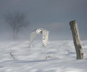 Owl in Flight VI by PHBurchett