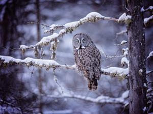 Owl in the Snow II by PHBurchett