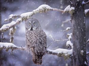 Owl in the Snow III by PHBurchett