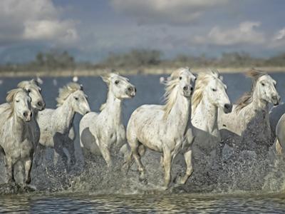 White Horses of the Camargue by PHBurchett