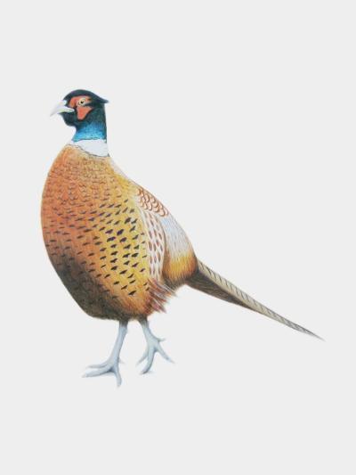Pheasant, 2012-Ele Grafton-Giclee Print