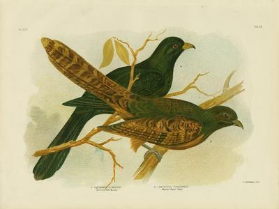 Pheasant Coucal, 1891-Gracius Broinowski-Giclee Print