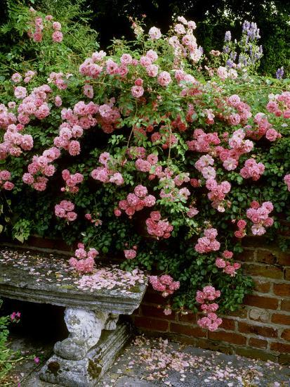 """""""Pheasant"""" Rose Cascades Over Wall onto Stone Bench-Ron Evans-Photographic Print"""