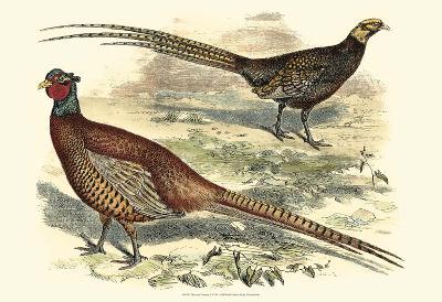 Pheasant Varieties V--Art Print
