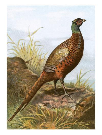 Pheasant-English-Giclee Print