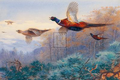 Pheasants in Flight-Archibald Thorburn-Art Print