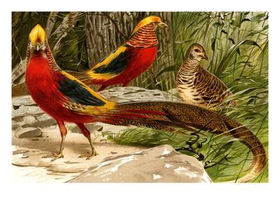 Pheasants-F^W^ Kuhnert-Art Print