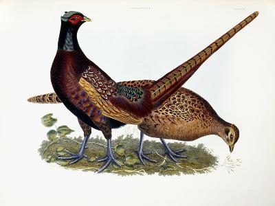 Pheasants-Prideaux John Selby-Giclee Print
