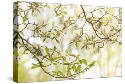 A Flowering Dogwood, Cornus Florida, Cataloochee Area, Great Smoky Mountains National Park