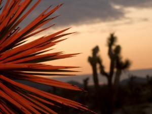 A Mojave Yucca Plant, Yucca Schidigera, with Red Light by Phil Schermeister