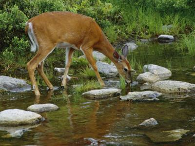 A White-Tailed Deer Drinks from a Stream by Phil Schermeister